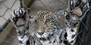 Filhote de onça pintada é o mais novo morador do Zoobotânico de Teresina