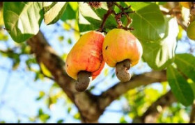 Apesar das plantações diminuírem, safra do caju em 2017 vai ser boa