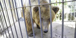 Avião da FAB chega ao Piauí para a transferência da ursa Marsha para santuário