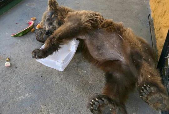 Ursa Rowenna, ex-ursa Marsha, se refresca no calor de quase 30 graus em SP