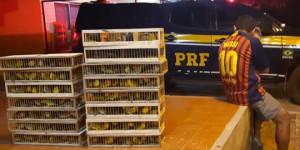 PRF apreende 280 pássaros silvestres transportados de forma ilegal na BR-316