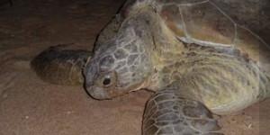 Instituto encontra vestígios de óleo em tartarugas-verdes mortas no litoral piauiense