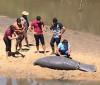 Peixe-boi encontrado morto no foi atropelado por embarcação