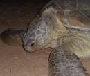 Instituto encontra vestígios de óleo em tartarugas mortas no Piauí