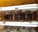 Laboratório no Piauí atua na extração e manipulação de veneno de abelha