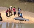 Peixe-boi morre após encalhar entre Parnaíba e Luís Correia