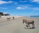Prefeitura de Cajueiro da Praia quer monitorar jumentos da região