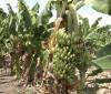 Propriedade em Várzea Grande se destaca na produção de bananas de 10 espécies 16 10 2021
